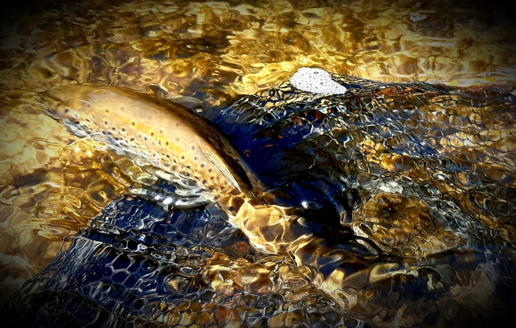 truite de l'orb pêchée à la mouche