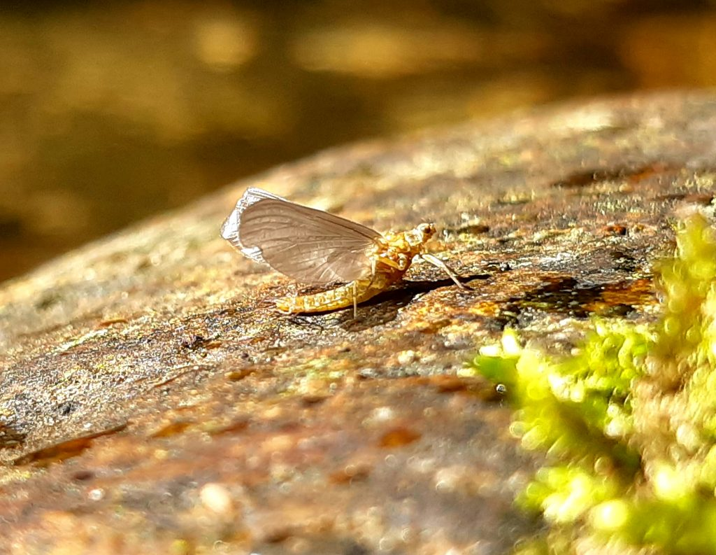 une éphémère sur un bloc pendant un guidage pêche à la mouche dans l'Hérault